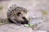 800px-keqs_young_european_hedgehog1