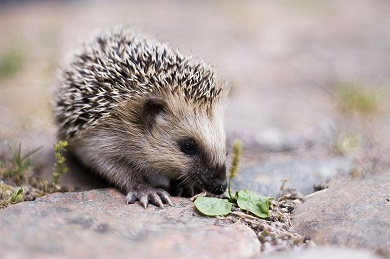 800px-keqs_young_european_hedgehog1