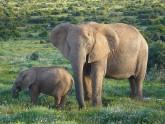 Elephants(1)