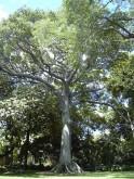 Kapok_tree_Honolulu