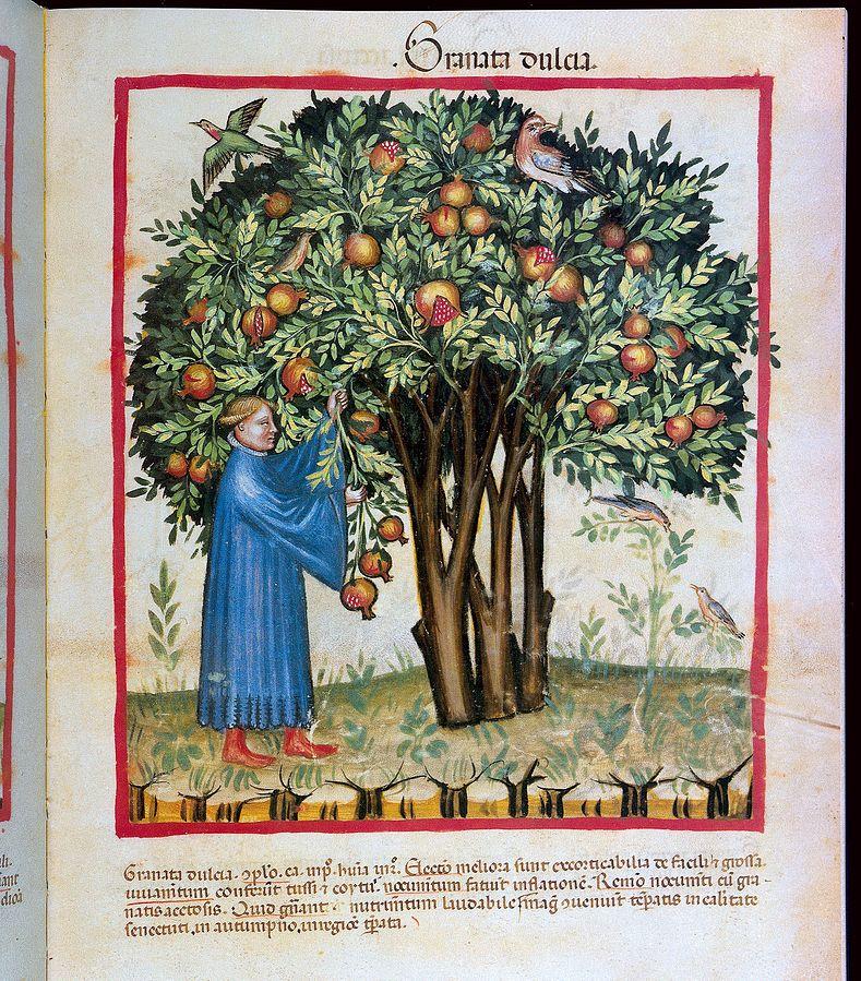 Pomegranate_tree